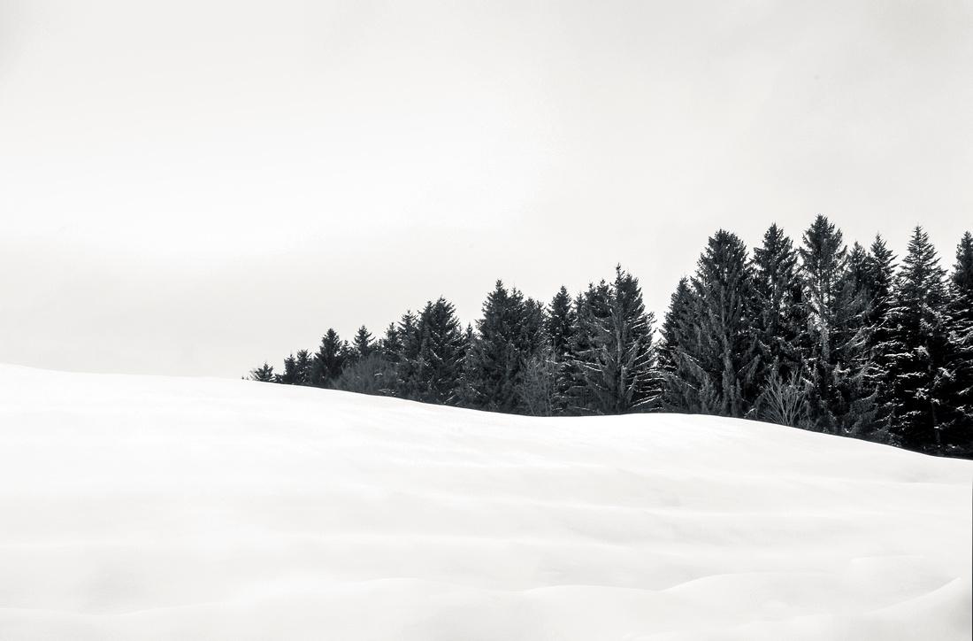 Fir Trees Austria
